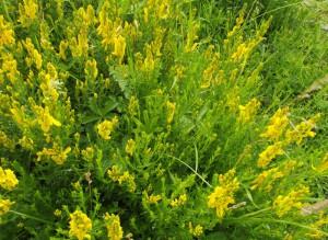 Dyer's Greenweed (Genistia tinctoria)