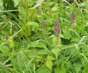 Hedge Woundwort (Stachys silvatica)