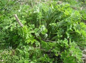 Common Hogweed (Heracleum sphondylium)