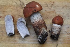Leccinum aurantiacum