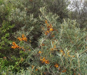Common Sea-buckthorn (Hippophae rhamnoides)