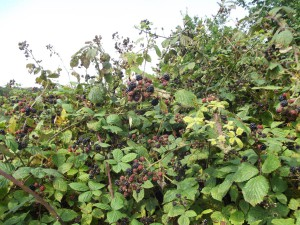 Blackberries fruiting in profusion, end of August 2013.