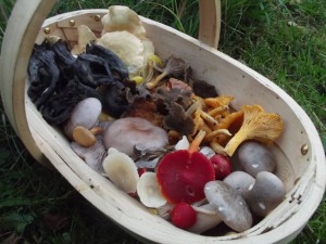 Late October collection (31/10/2015). Horn of Plenty, Hedgehog Fungus, Winter Chanterelle, Wavy-capped Chanterelle, Chanterelle, Wood Blewit, Clouded Funnel, Scarlet Waxcap, Snowy Waxcap, Peppery Bolete.