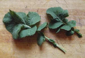 Wild Cabbage leaves.