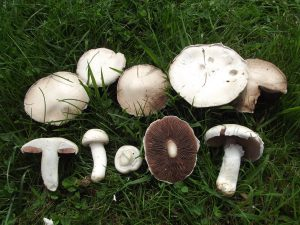 Field Mushrooms (Agaricus Augustus)