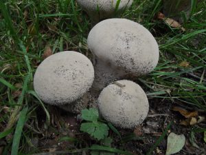 Pestle Puffball (Lycoperdon excipuliforme)