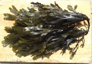 Toothed Wrack (Fucus serratus)