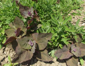 Red orache / mountain spinach (Atriplex hortensis var. rubra) and fig-leaved goosefoot (Chenopodium ficifolium).