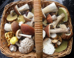 A typical mid-September collection of (mainly) edible fungi, primarily boletes in this case, but there's also some russulas, amethyst deceivers and millers in there, as well as an inedible (too bitter) species that the collector was hoping (in vain) might be hallucinogenic.
