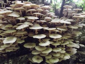 """Armillaria mellea (""""true"""" Honey Fungus) on the march. Mid-October 2013"""