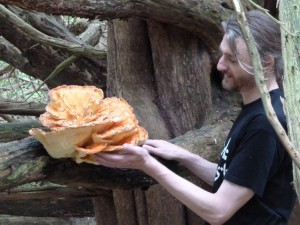 Perfect chicken-of-the-woods specimen, June 2013. Yes, it is safe to eat when growing on yew!