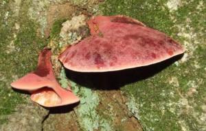 Beefsteak Fungus (Fistulina hepatica).  October 2013.