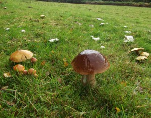 Penny Bun, Larch Bolete and masses of The Miller, bucking the general trend for this autumn.