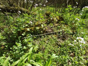 April 23rd 2015: edible woodland plants