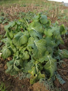 Wild Cabbage. Sussex, January 2016.