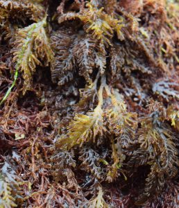 Pepper Dulse closeup. Each frond is smaller than a fingernail.