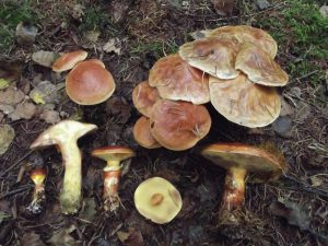 Larch Bolete (19/09/2015, south-east Sussex)