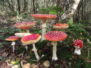 Fly Agaric (19/09/2015, south-east Sussex)
