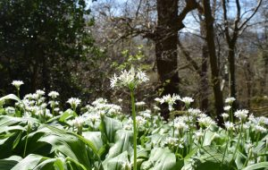 Ramsons in April 2016, East Sussex
